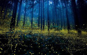 blue ghost firefly